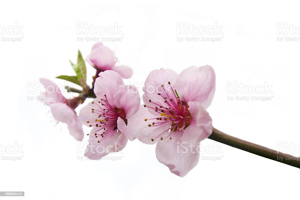 pink peach flowers royalty-free stock photo