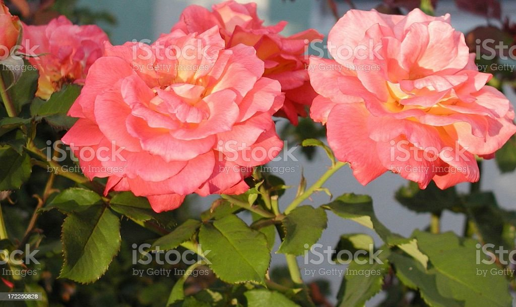Pink & Peach Spectrum royalty-free stock photo