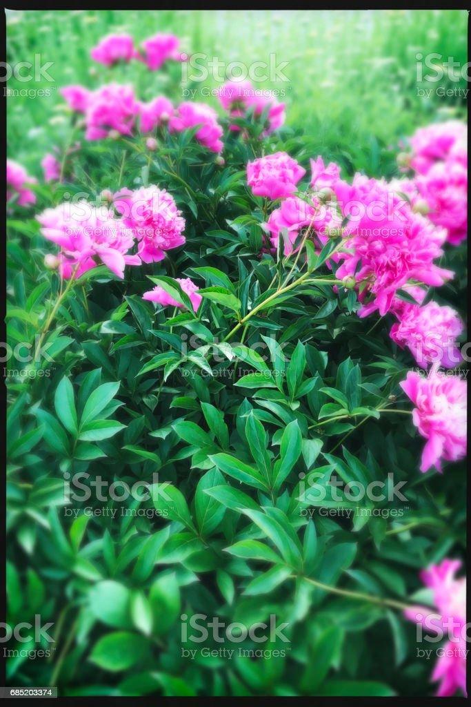 Pink Peonies in Flower Garden  Tilt Shift stock photo