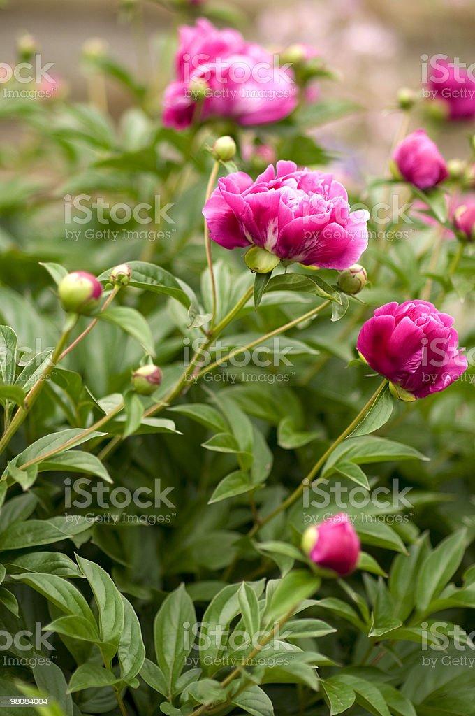 Rosa peonie in giardino foto stock royalty-free