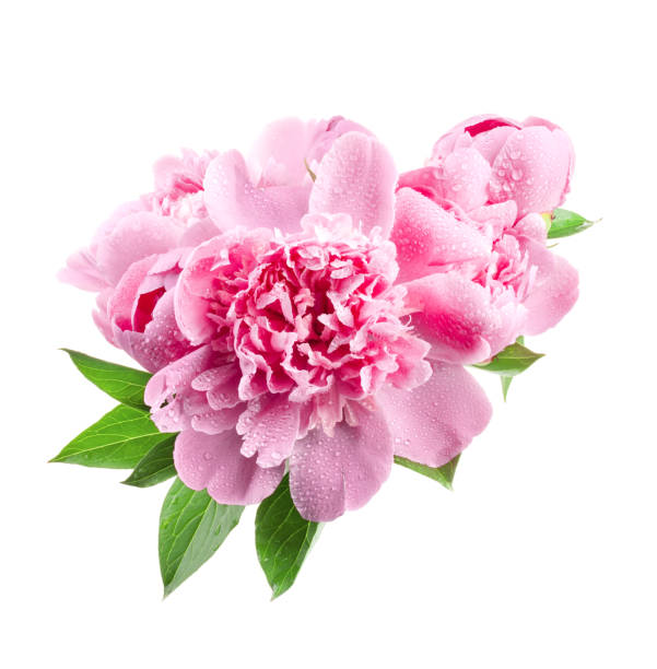 Pink peonies isolated on white picture id1165510898?b=1&k=6&m=1165510898&s=612x612&w=0&h=z8qndebzuh2v3a4qetwkykrz5j90pm3r3zin7bi14fg=
