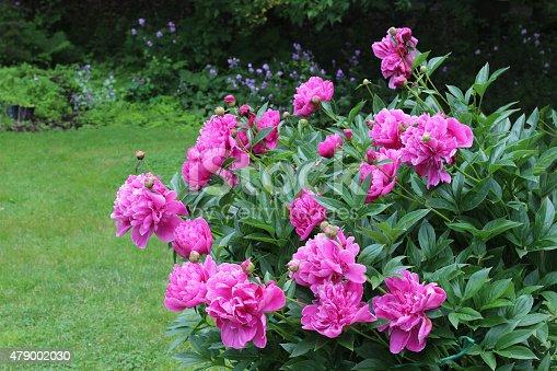 Pink peonies on large flowering bush in garden stock photo more pink peonies on large flowering bush in garden stock photo more pictures of 2015 istock mightylinksfo