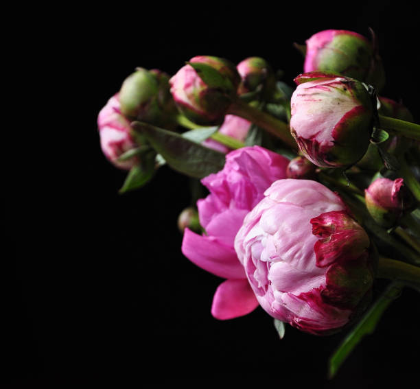 Pink peonies over black background stock photo