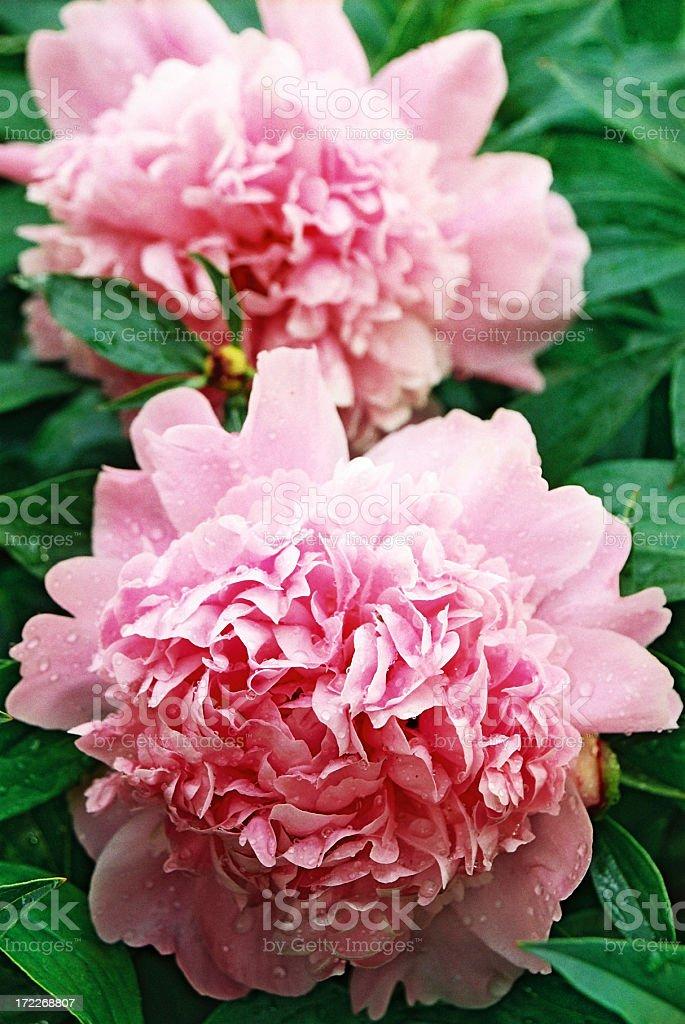 Pink Peonies. royalty-free stock photo