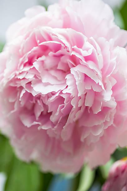 Pink peonies picture id482610024?b=1&k=6&m=482610024&s=612x612&w=0&h=qovwdt6aumok3gp8ognpqij636e0j6lqylfanlsllge=