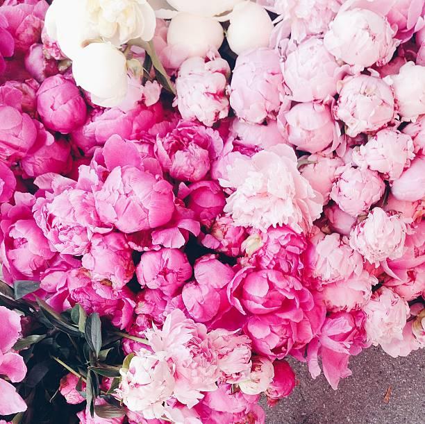 peonies cor-de-rosa - foto de acervo