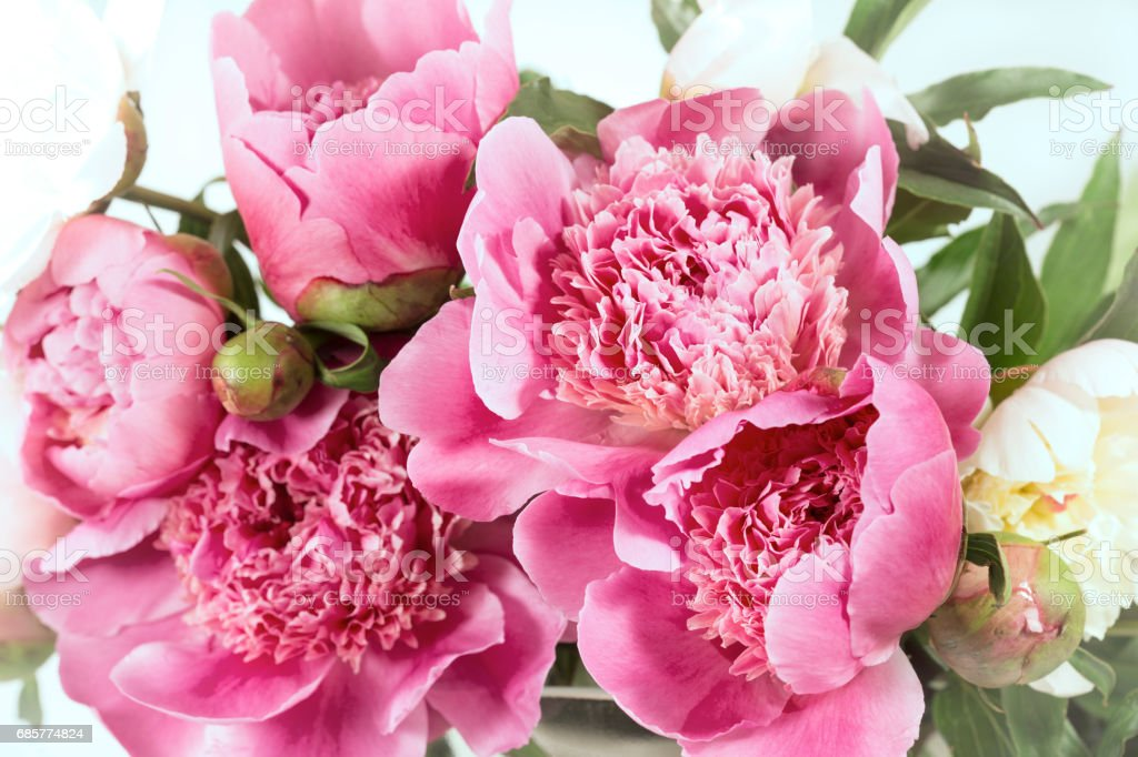 Pink peonies royalty-free stock photo