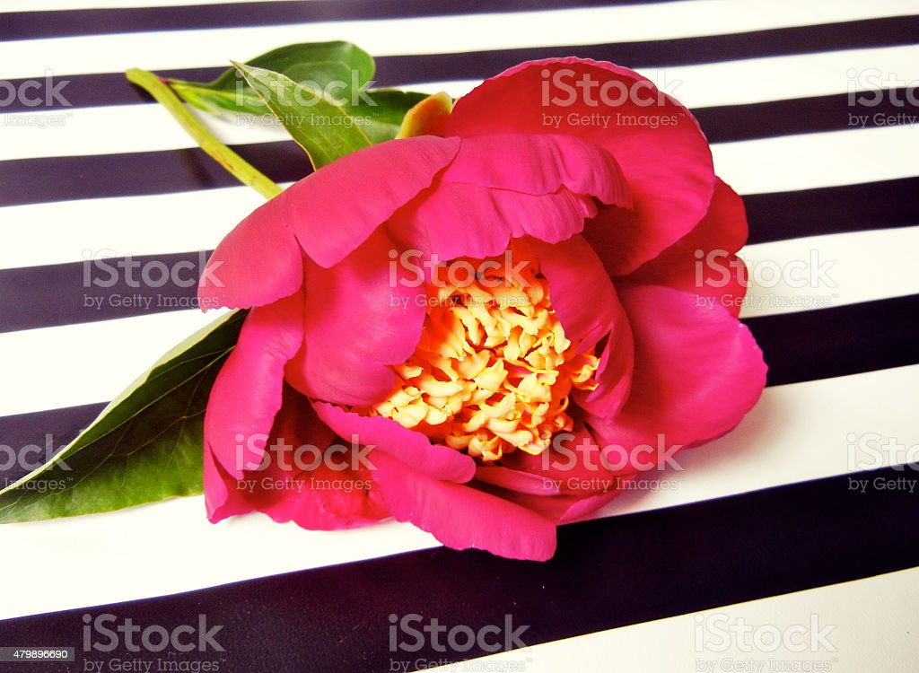 Pink Peony Against Striped Background stock photo