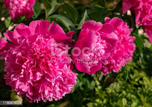 Pink peonies bloom among leaves