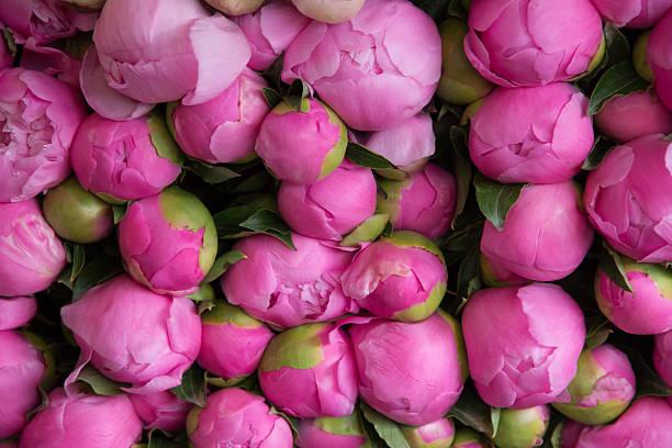 Pink peony buds stock photo
