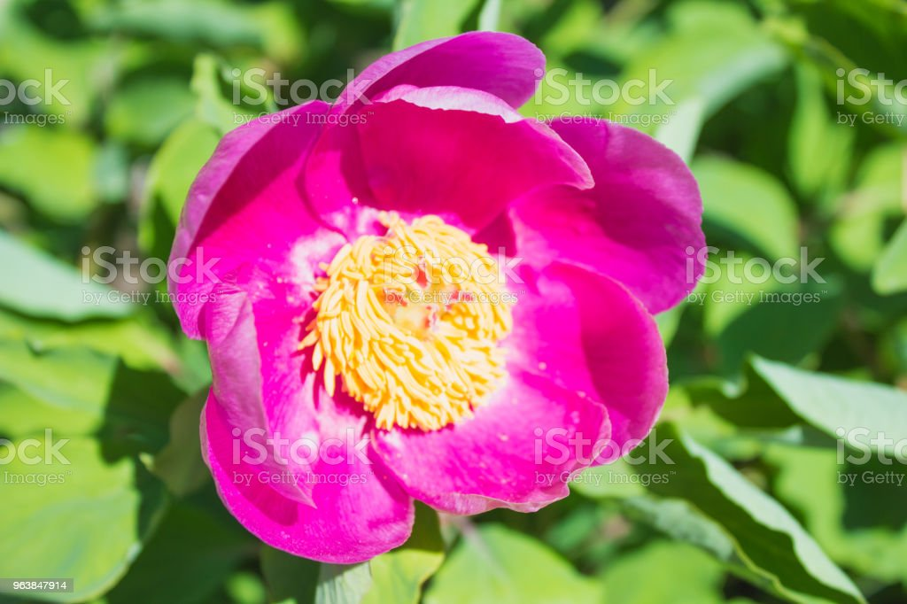 Pink peony close up flower in the garden - Royalty-free Beauty Stock Photo