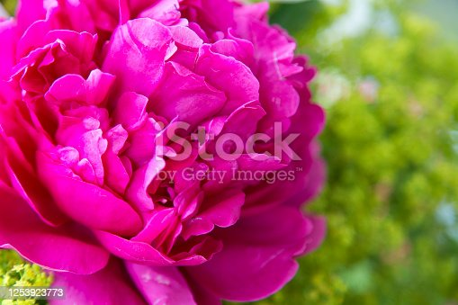 Pink peony flower bloom in the ornamental garden
