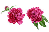 istock pink peony flower isolated on white background close up 1035070850