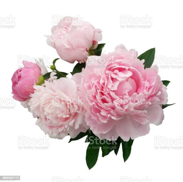 Pink peony flower isolated on white background picture id696360122?b=1&k=6&m=696360122&s=612x612&h=vjyrdo bpuh4p6qsxhtq9abc1fmngqnka33 3qisvy8=