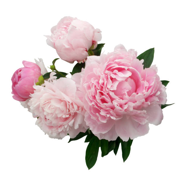rosa blume, isoliert auf weißem hintergrund - pfingstrosen pflege stock-fotos und bilder