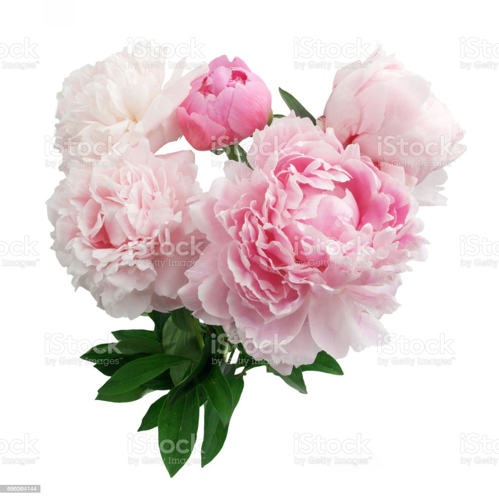 Pink Peony Flower Isolated On White Background Stock Photo Download Image Now Istock