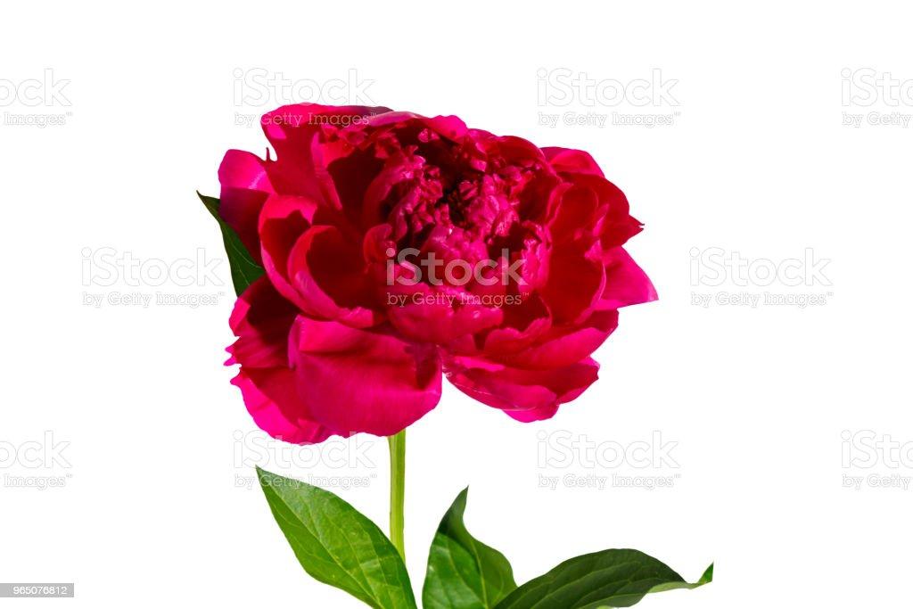 Pink peony flower isolated on white background zbiór zdjęć royalty-free