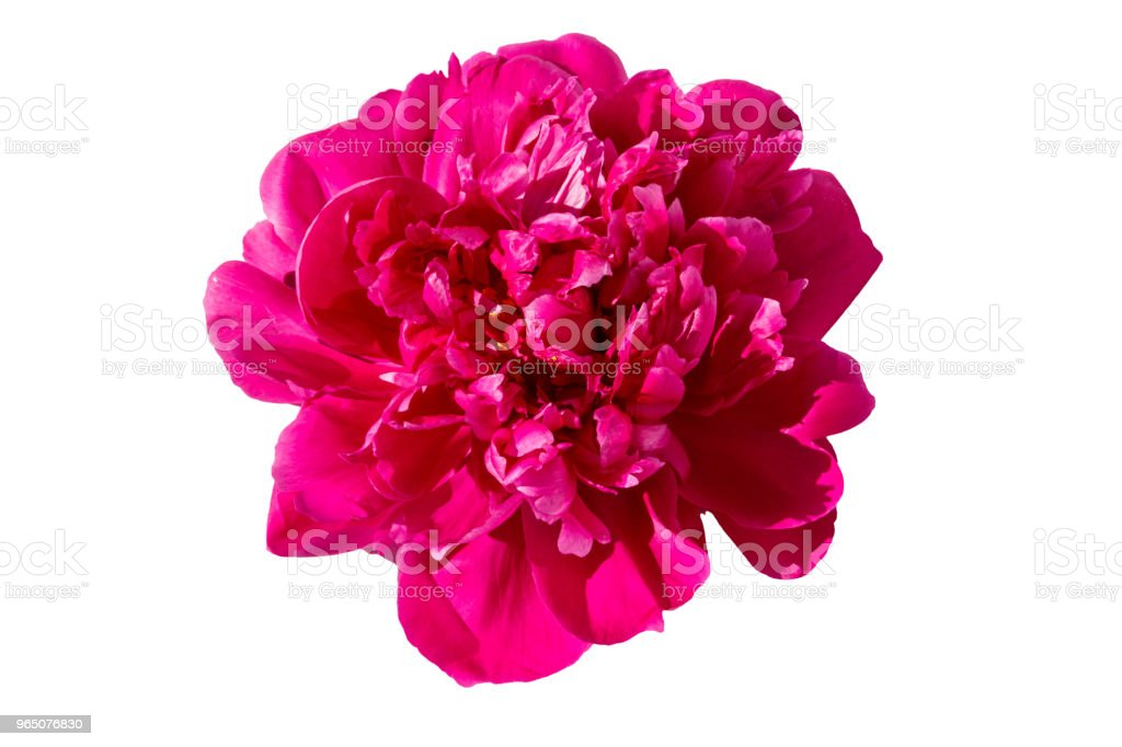 Pink peony flower isolated on white background royalty-free stock photo