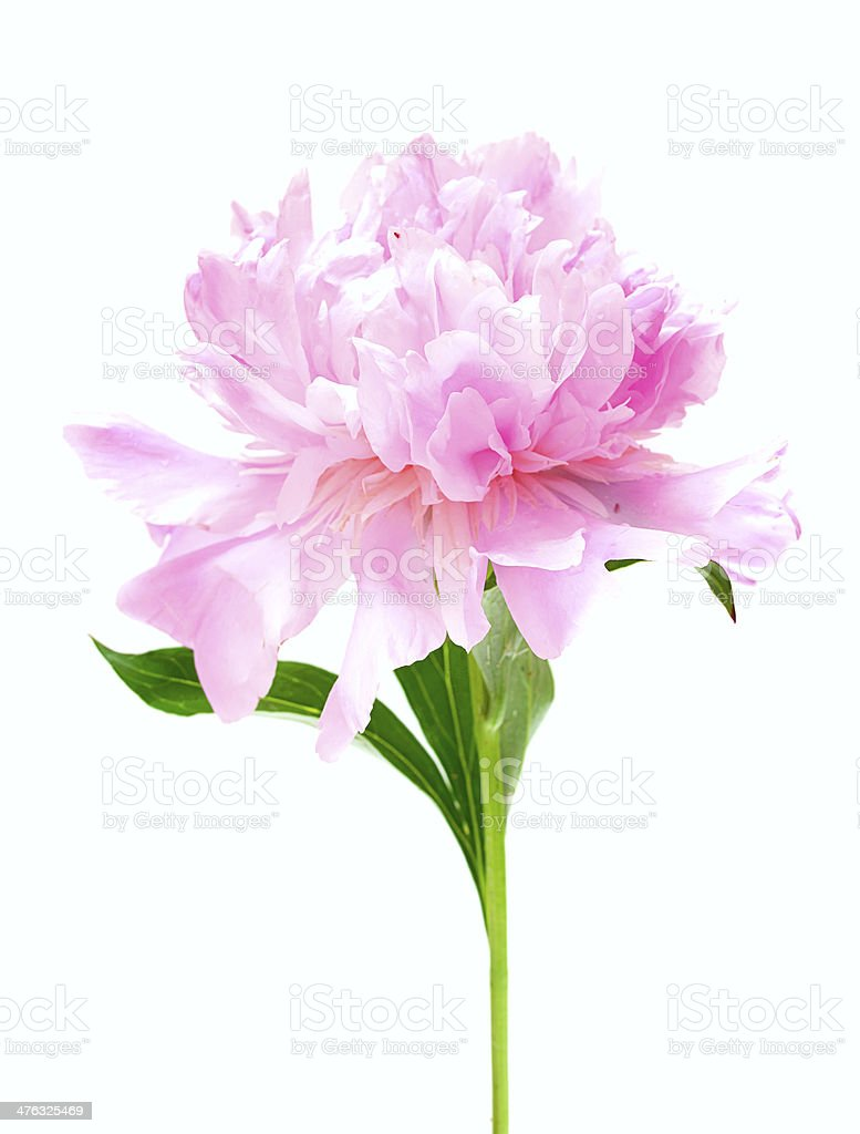 Pink peony flower isolated on white royalty-free stock photo