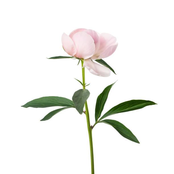 rosa pfingstrose blumen, isoliert auf weiss - pfingstrosen pflege stock-fotos und bilder