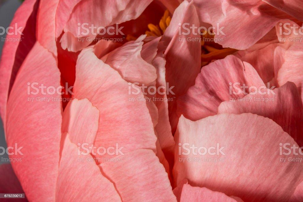 Pink peony flower petals close up royalty-free stock photo