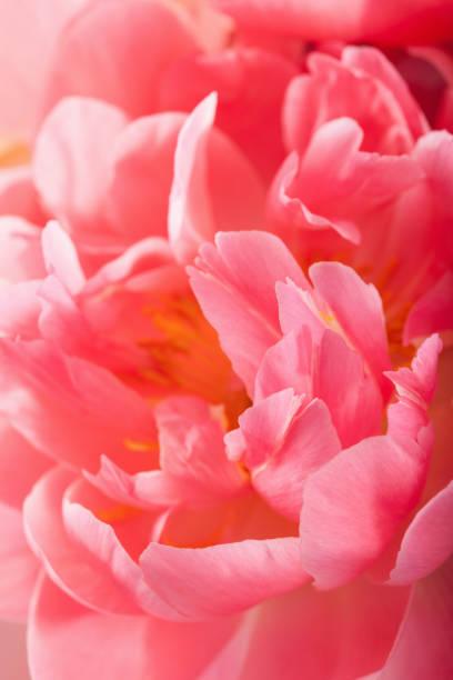 Pink peony flower petals closeup background picture id932754978?b=1&k=6&m=932754978&s=612x612&w=0&h=taxktjmcitddn2neveiaplclg0evj3nivrvcinx4bw0=