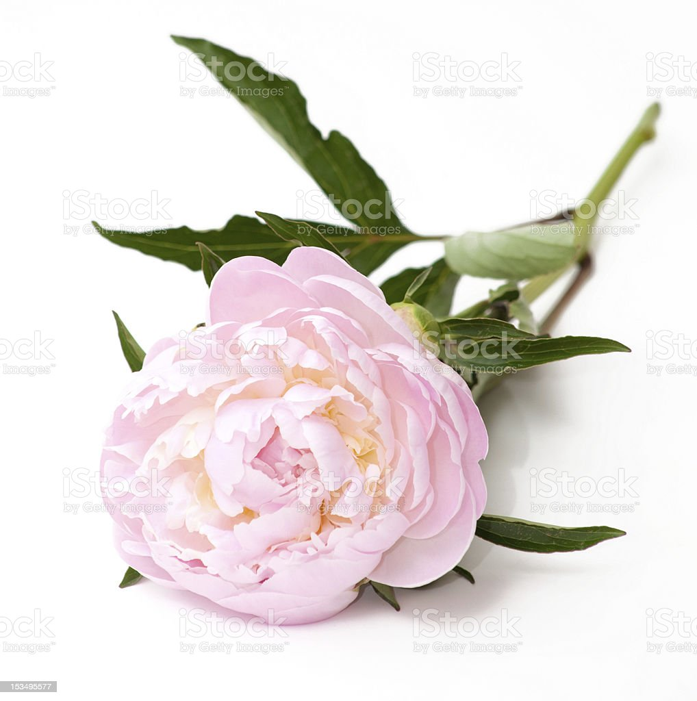 pink peony flower royalty-free stock photo