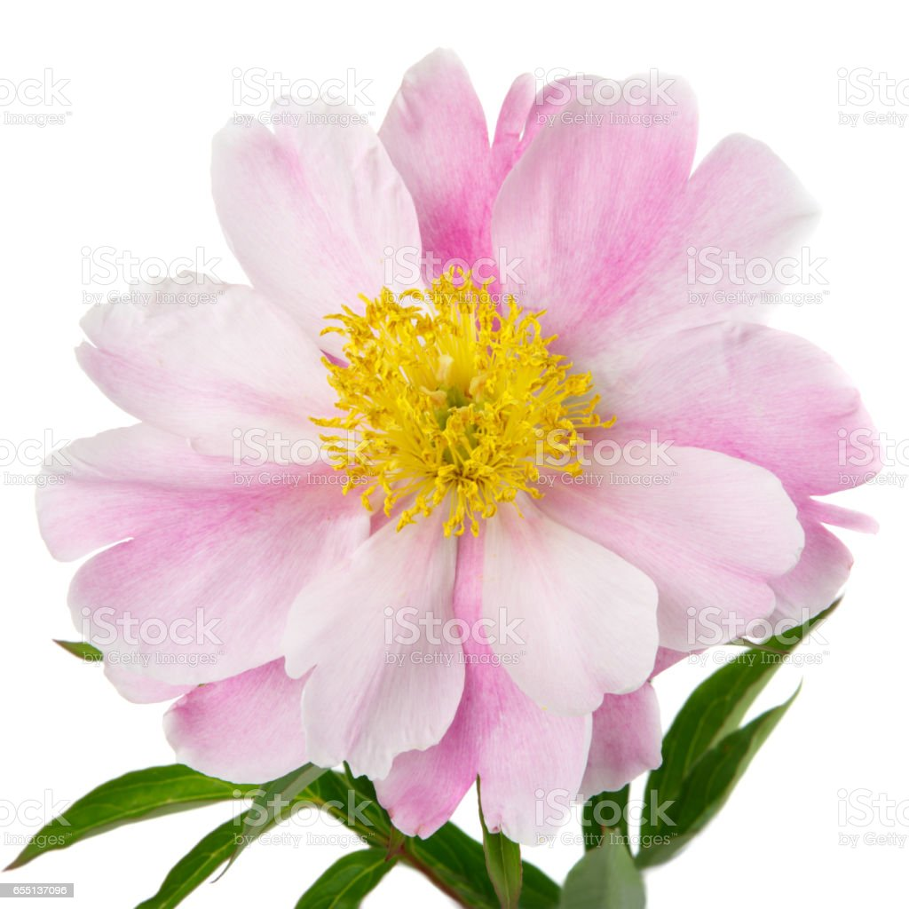 Pink Peony Flower With Yellow Middle Isolated On A White Background