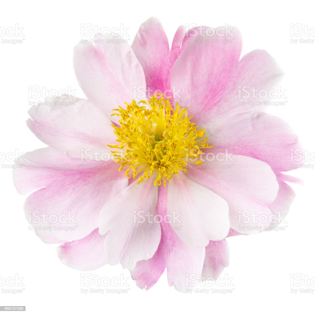 Pink peony flower with yellow middle isolated on a white background pink peony flower with yellow middle isolated on a white background royalty free stock mightylinksfo