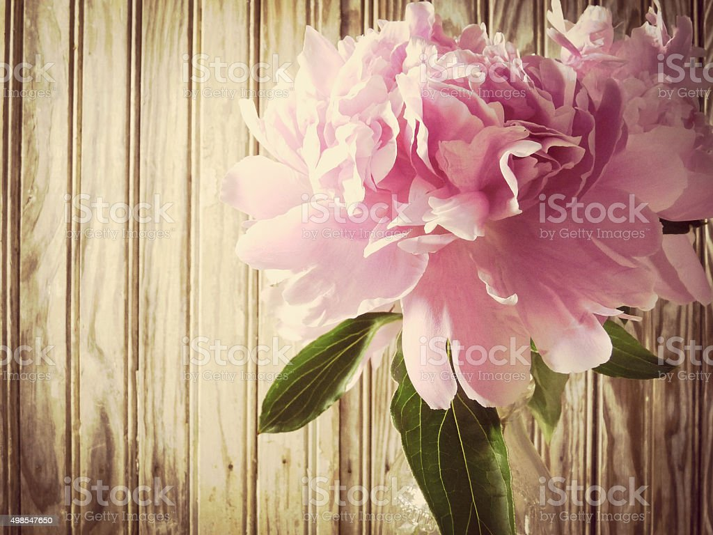 Pink Peony Flowers and Wooden Beadboard Still Life Background stock photo