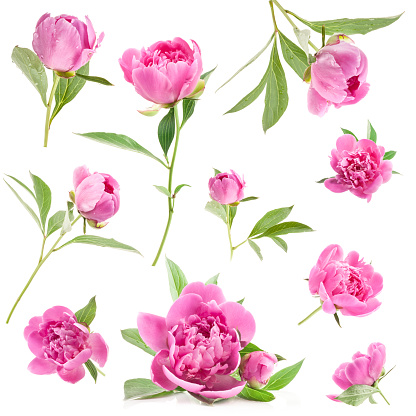 istock Pink Peony flowers isolated on white 981568000
