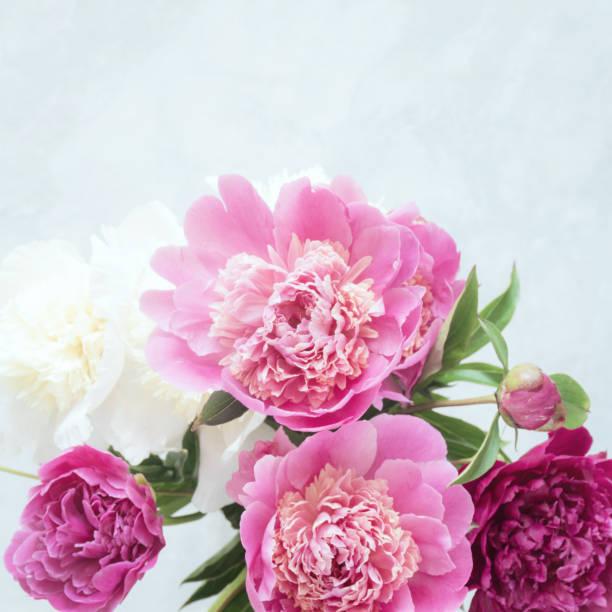 rosa pfingstrose blumen auf weißem hintergrund - pfingstrosen pflege stock-fotos und bilder