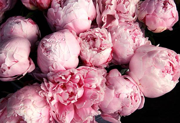 Peônia cor-de-rosa com flores raindrops - foto de acervo