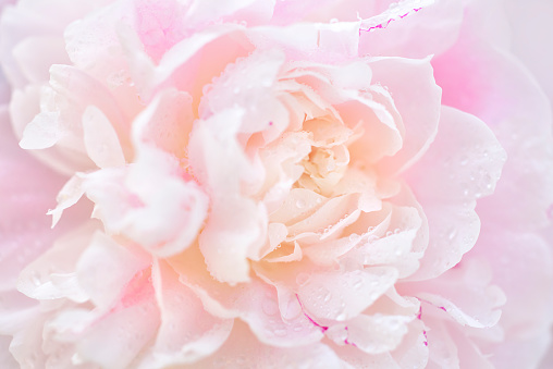 istock Pink Peony in Dew 689907962