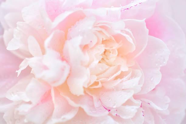 Peônia-de-rosa no orvalho - foto de acervo