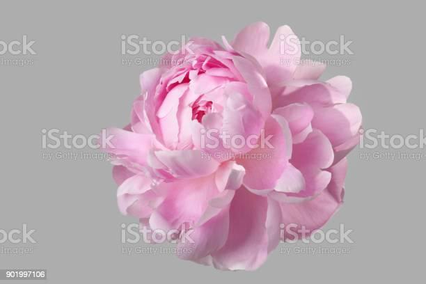 Pink peony isolated on gray background picture id901997106?b=1&k=6&m=901997106&s=612x612&h=xj47hz4fttfamth1 nckv18li3uvijajessfhdnmuvq=