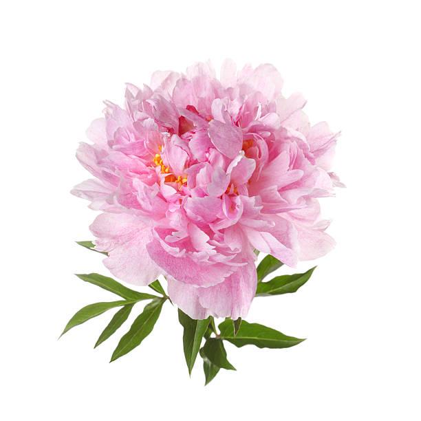 Pink peony isolated on white background picture id537926553?b=1&k=6&m=537926553&s=612x612&w=0&h=4d3dxu99vldvp91w i1kymr branbvz7qsticnvzbpi=