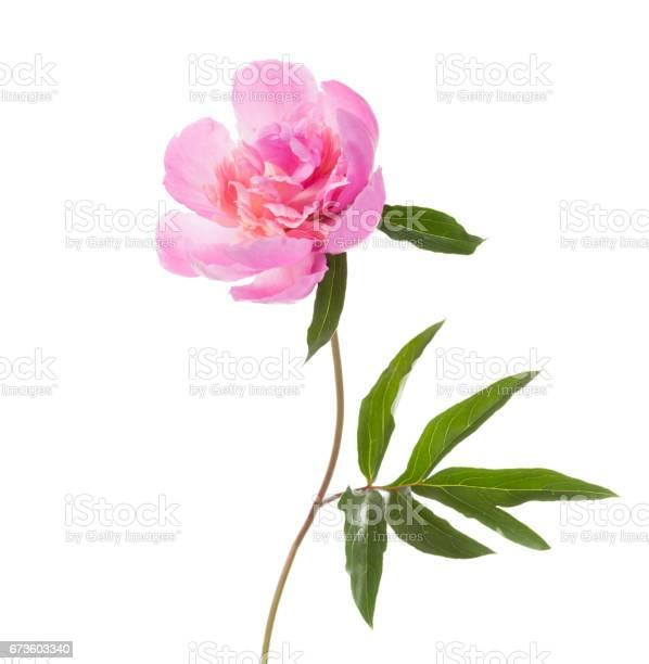 Pink peony isolated on white background picture id673603340?b=1&k=6&m=673603340&s=612x612&h=1 o2chqo iu8uilhojre m5my6 uwkim wqwdepkxmm=