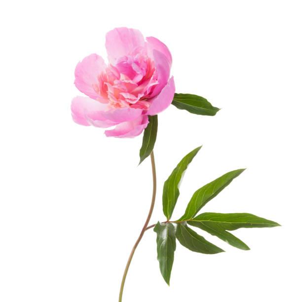 Peônia rosa isolada no fundo branco. - foto de acervo
