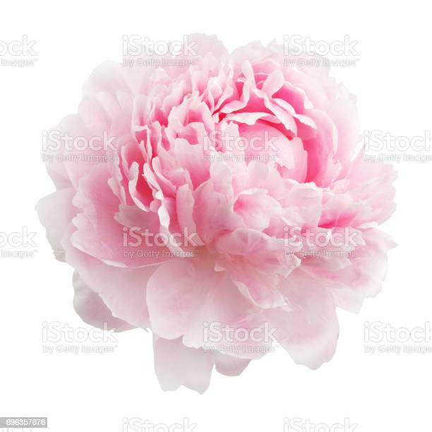 Pink peony isolated on white background picture id696357676?b=1&k=6&m=696357676&s=612x612&h=zyblq0kxeh7zrg1mqjgtqzp5jj2fjpai mx0ajq ldo=