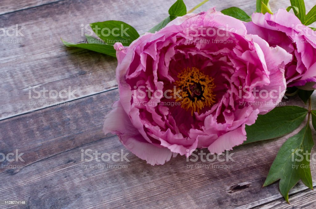Pink Peony lying on a wooden background stock photo