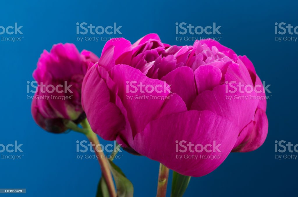 Pink Peony on a blue background stock photo