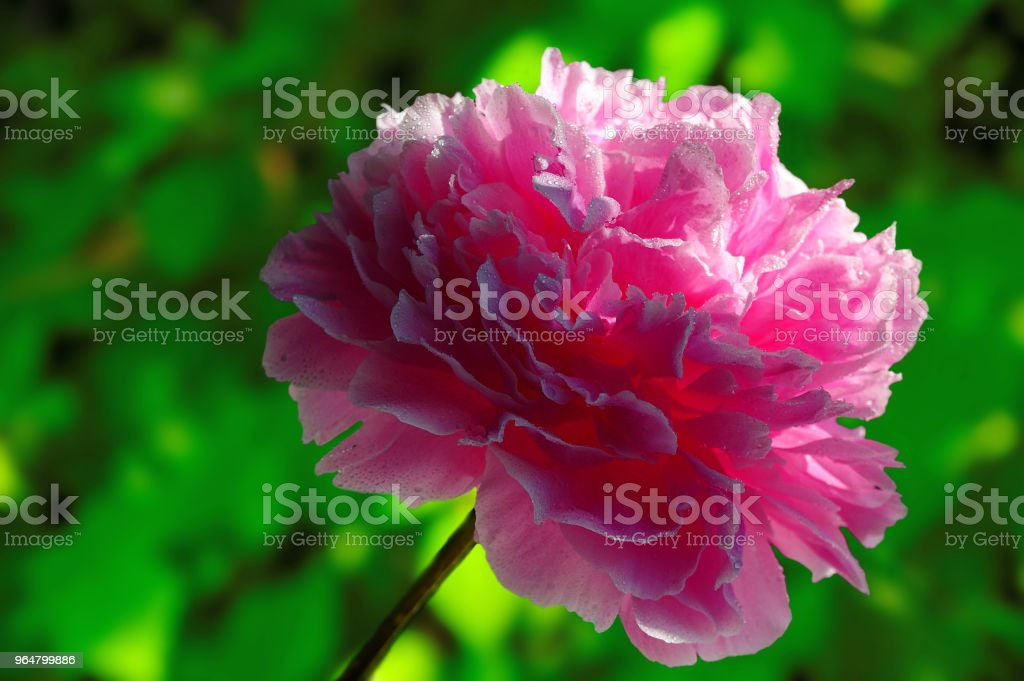 Pink peony on a green background royalty-free stock photo