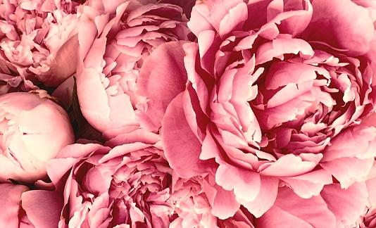 istock Pink peony petals blossom flowers 1162818869