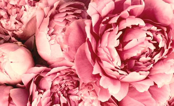 Pink peony petals blossom flowers Pink peony petals blossom flowers beautiful background wallpaper flower head stock pictures, royalty-free photos & images
