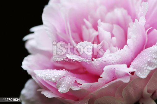 Pink Peony Against the Black.  Shallow DOF