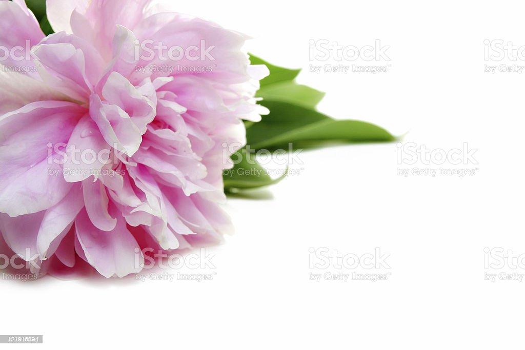 pink peony royalty-free stock photo