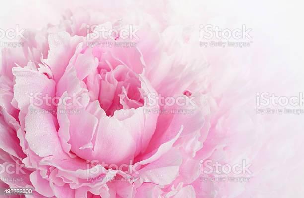 Pink peony picture id492222300?b=1&k=6&m=492222300&s=612x612&h=6zrqtaogp iqtz gbzbqsxpdmmwynogcrghufbto64g=