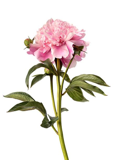 Peônia cor-de-rosa - foto de acervo