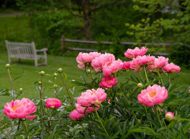 Rosa Peony Pflanzen in einem Garten – Foto